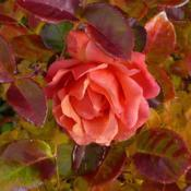 Location: Nora's Garden - Castlegar, B.C.Date: 2018-10-27- Fall colour blends well with this last rose of the ye