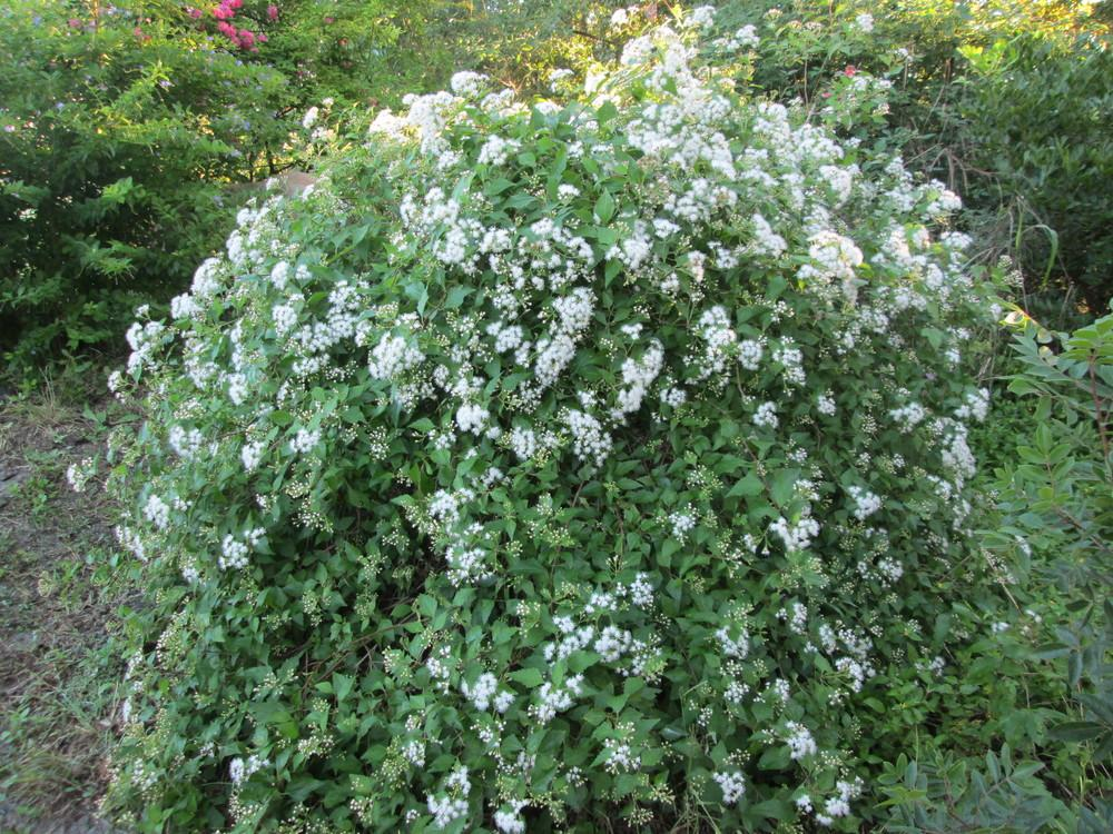 Photo of White Mistflower (Ageratina havanensis) uploaded by christinereid54