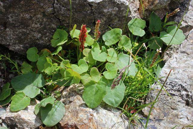 Photo of Alpine mountainsorrel (Oxyria digyna) uploaded by RuuddeBlock