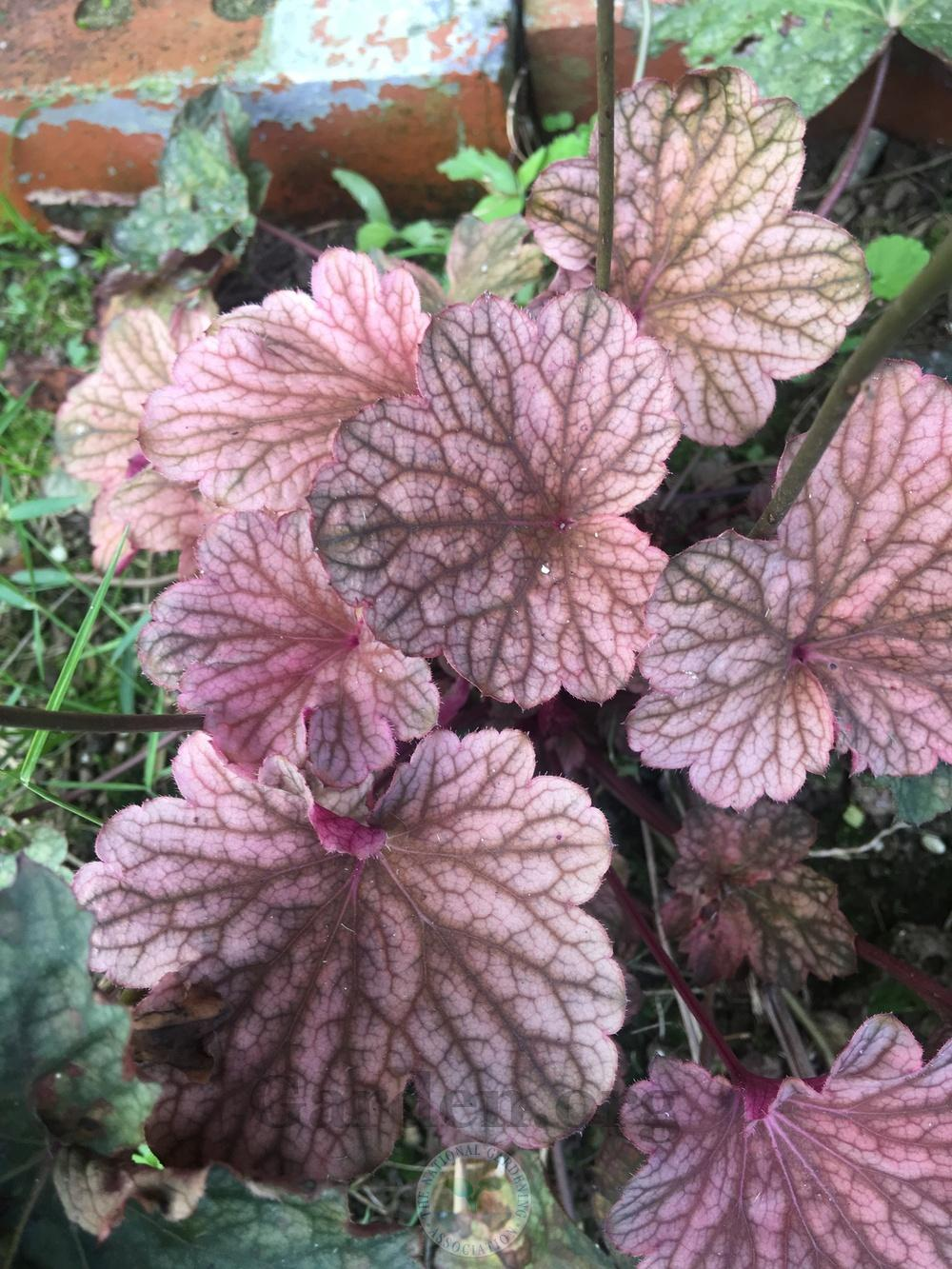 Photo of Coral Bells (Heuchera) uploaded by chickhill