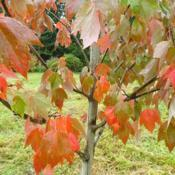 Location: My garden, Cedarhome, WADate: 2018-10-07Frank's Red Maple first turns orange, then brilliant red