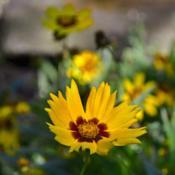 Location: Botanical Gardens of the State of Georgia...Athens, GaDate: 2018-10-28Gaillardia pulchella 001