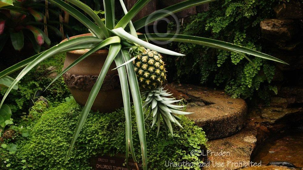 Photo of Pineapple (Ananas comosus) uploaded by DaylilySLP
