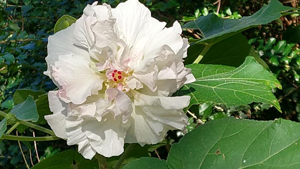 Hibiscus Plant Care And Collection Of Varieties Gardenorg