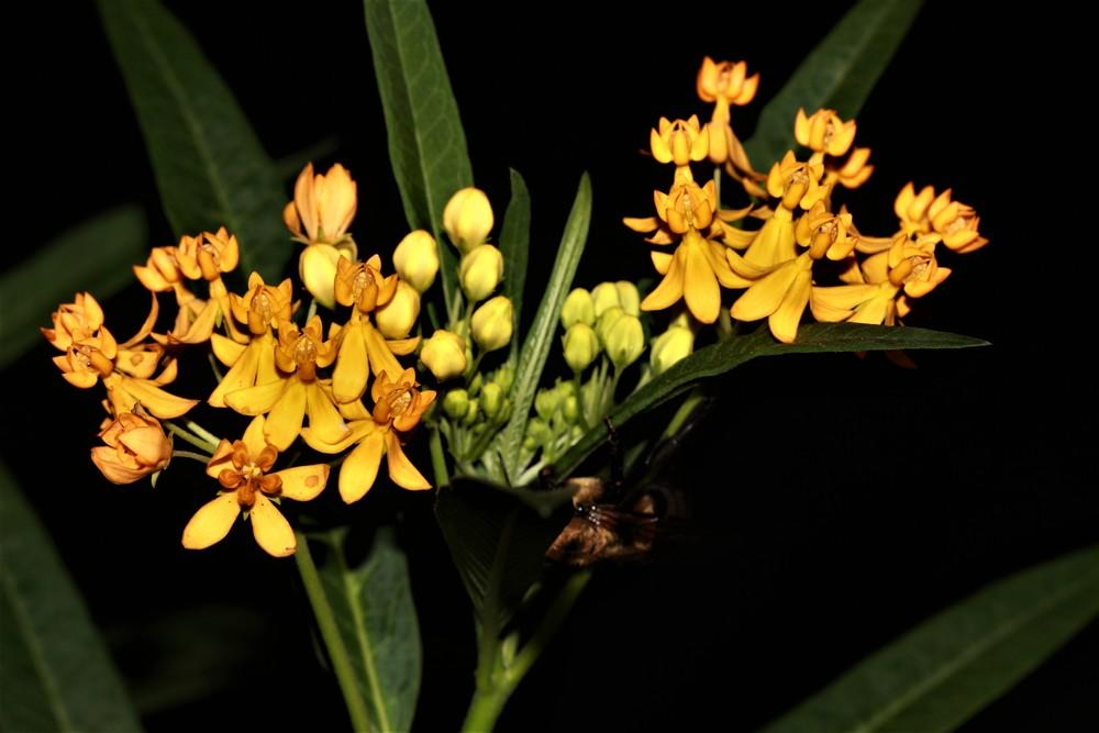 Photo of Tropical Milkweed (Asclepias curassavica 'Silky Gold') uploaded by luvsgrtdanes