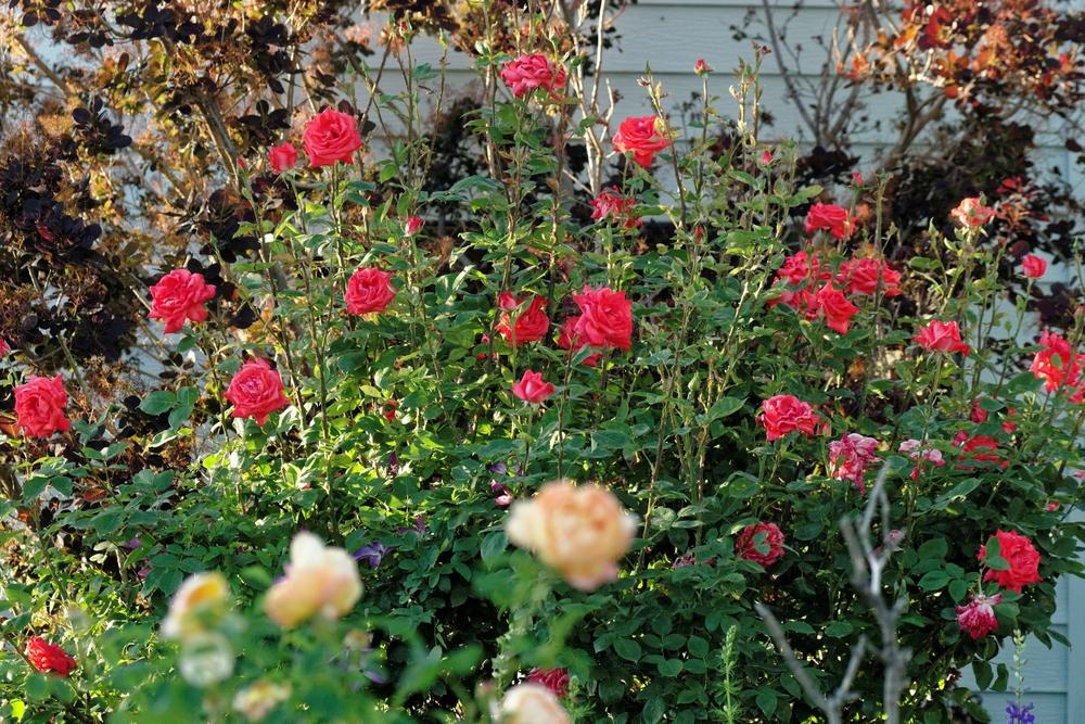 Photo of Rose (Rosa 'Tropicana') uploaded by dirtdorphins