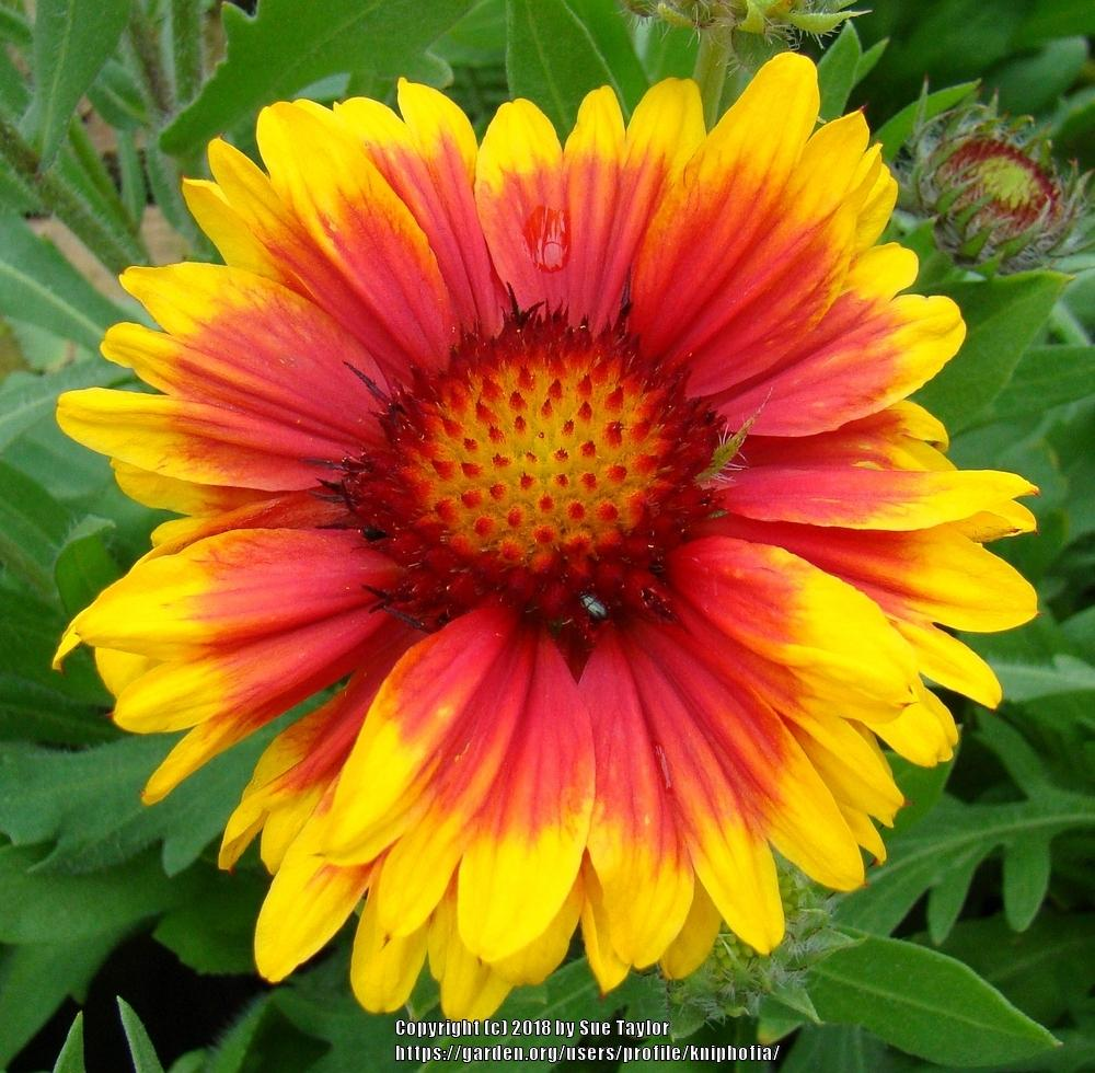 Photo of Blanket Flower (Gaillardia 'Arizona Sun') uploaded by kniphofia