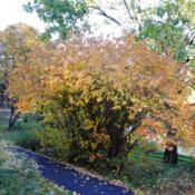 Location: Jenkins Arboretum in Berwyn, PennsylvaniaDate: 2018-11-04good fall color this year despite so much wetness