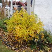 Location: Downingtown, PennsylvaniaDate: 2018-11-02maturing shrub with golden fall color