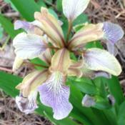 Date: 2018-06-04stinking iris (doesn't stink)