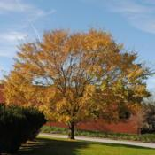 Location: Downingtown, PennsylvaniaDate: 2018-11-08full-grown tree in golden fall colour