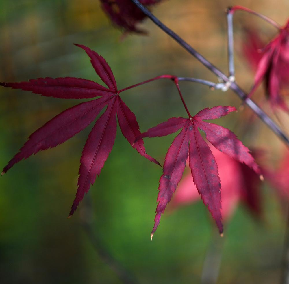 Photo Of The Fall Color Of Japanese Maple Acer Palmatum Moonfire