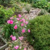 "Location: Clinton, Michigan 49236Date: 2015-06-05""Rosa Explorer 'Frontenac', 2015, Explorer Shrub Rose,"