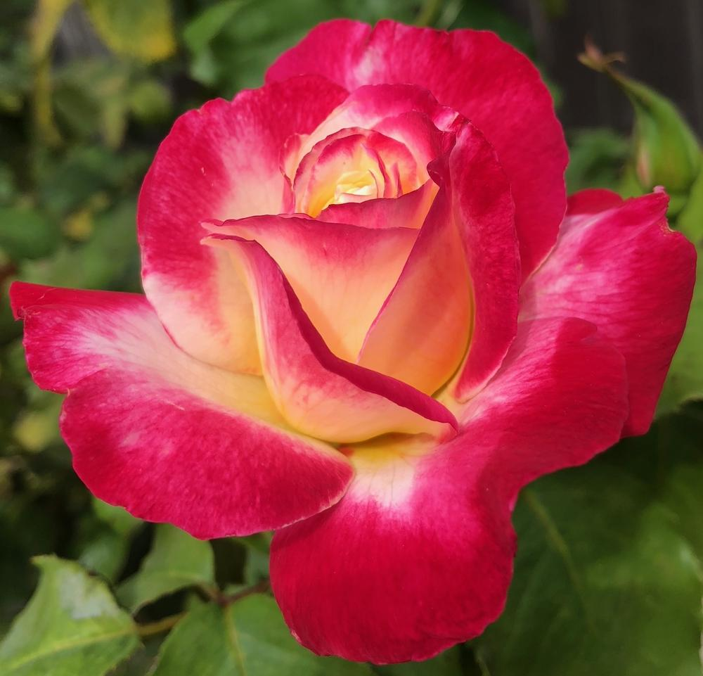 Photo of Rose (Rosa 'Double Delight') uploaded by AnnKNCalif