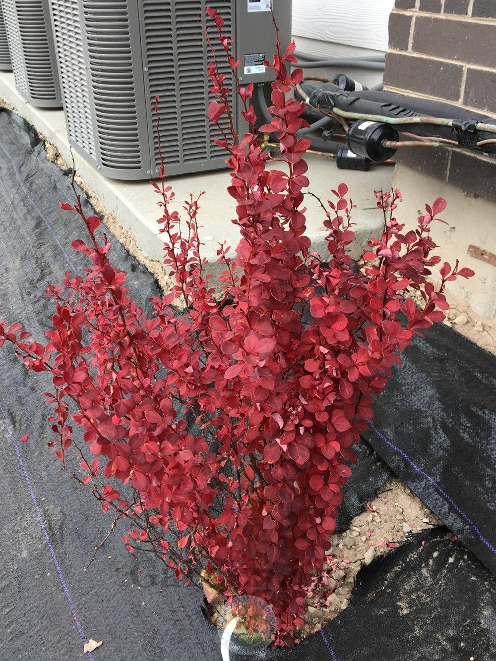 Photo of Japanese Barberry (Berberis thunbergii Orange Rocket®) uploaded by BlueOddish
