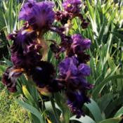 "Location: Hobart, TasmaniaDate: 2018-11-18Tall Bearded Iris "" Electric Candy """