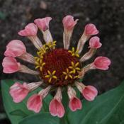 Location: My North GardenDate: August 2012A possibly carnivorous zinnia. Pitcher petals captured