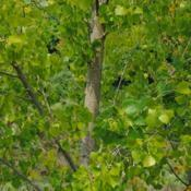 Location: Chesterbrook, PennsylvaniaDate: 2015-09-04foliage and young stems of Eastern Cottonwood