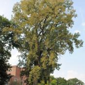 Location: Glen Ellyn, IllinoisDate: 2010-08-20wild Eastern Cottonwood near school