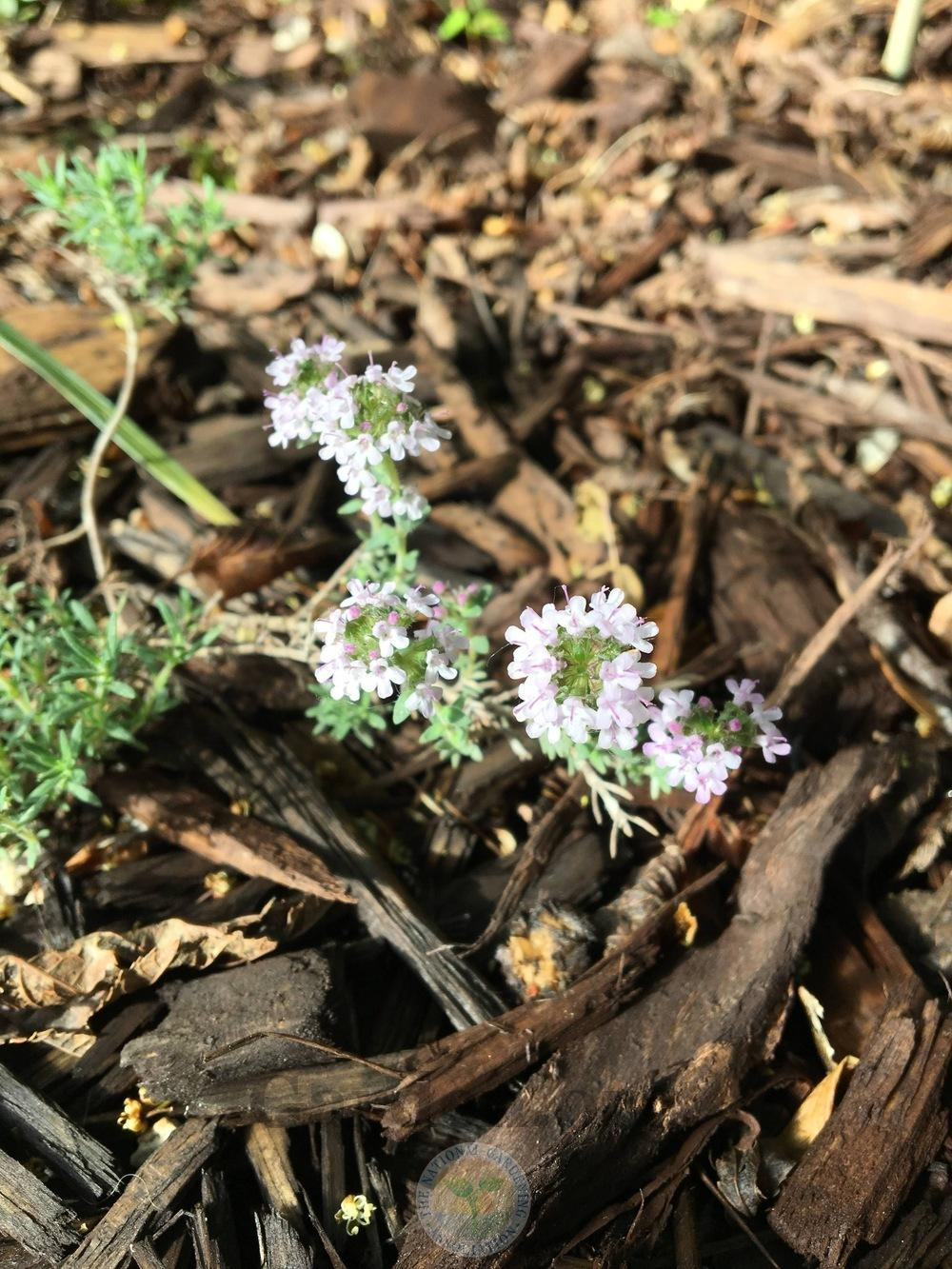 Photo of Juniper Thyme (Thymus neiceffii) uploaded by BlueOddish