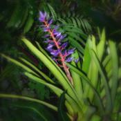 Location: Botanical Gardens of the State of Georgia...Athens, GaDate: 2018-11-27Bromeliad - Aechmea Blue Tango 003