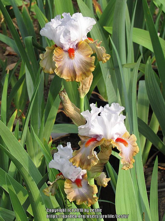 Photo of Tall Bearded Iris (Iris 'Snaparazzi') uploaded by Lestv