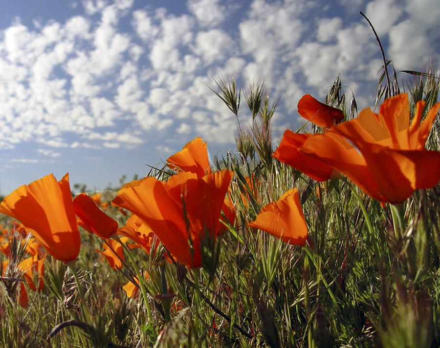 Photo of California Poppy (Eschscholzia californica) uploaded by Judith2018