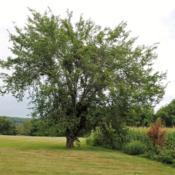 Location: Downingtown, PennsylvaniaDate: 2015-08-20wild Slippery (Red) Elm full-grown