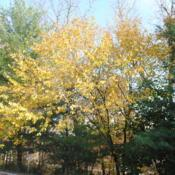 Location: West Chester, PennsylvaniaDate: 2016-11-02Slippery Elm in fall