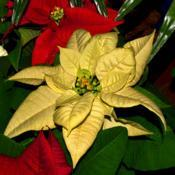 Location: Botanical Gardens of the State of Georgia...Athens, GaDate: 2018-12-02Yellow Poinsettia 010