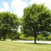 Location: Chester County, PennsylvaniaDate: 2013-07-05two maturing elms at an estate made into a public park