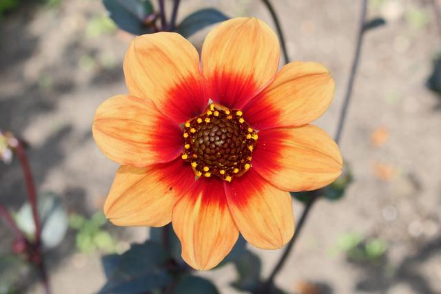 Photo of Dahlia 'Moonfire' uploaded by RuuddeBlock
