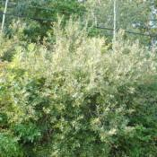 Location: northwest PennsylvaniaDate: 2017-09-10American Pussy Willow shrubs in the wild