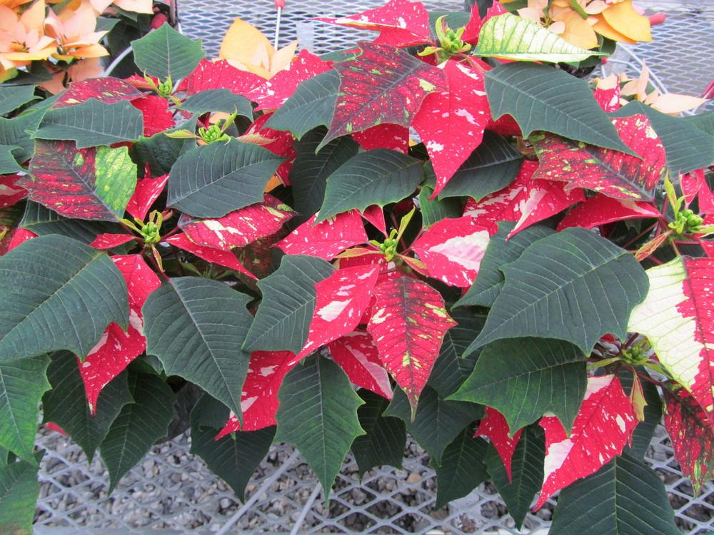 Photo of Poinsettia (Euphorbia pulcherrima Sonora White Glitter) uploaded by Sscape