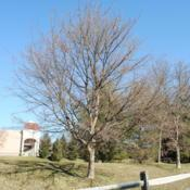 Location: Downingtown, PennsylvaniaDate: 2012-02-03specimen at shopping center landscape