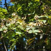 Location: Downingtown, PennsylvaniaDate: 2015-10-06Sugar Maple samaras (winged seed)