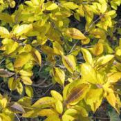 Location: Downingtown, PennsylvaniaDate: 2007-11-22Winterberry yellow autumn color