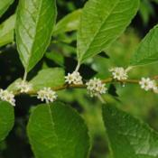 Location: Downingtown, PennsylvaniaDate: 2014-06-22female Winterberry flowers