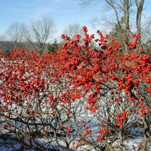 Red Sprite Winterberry in fruit