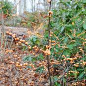Location: Tyler Arboretum near Media, PennsylvaniaDate: 2015-12-13'Winter Gold' Winterberry fruit