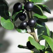 Location: West Chester, PennsylvaniaDate: 2007-11-16black fruit of Japanese Holly