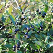 Location: Downingtown, PennsylvaniaDate: 2012-12-13black fruit of Shamrock Inkberry Holly