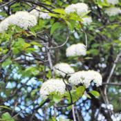 Location: Chester County, PennsylvaniaDate: 2011-05-08Blackhaw Viburnum all fertile flower clusters