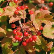 Location: Newtown Square, PennsylvaniaDate: 2011-08-05red fruit and fall color of Cranberrybush Viburnum