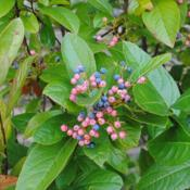 Location: West Chester, PennsylvaniaDate: 2018-09-29immature pink and mature blue fruit of Smooth Viburnum