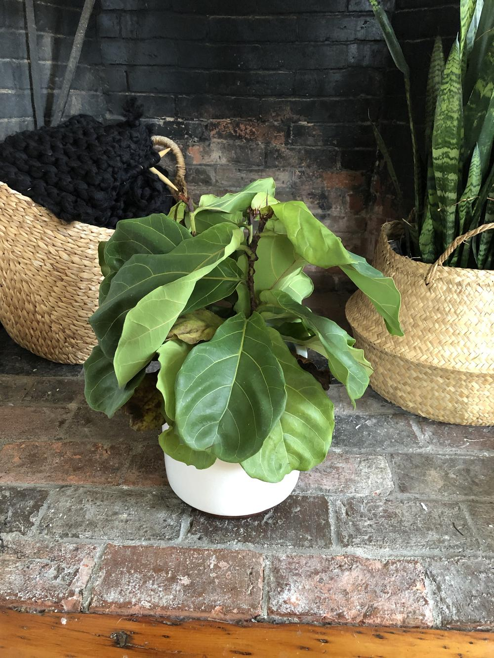 Ask a Question forum: Fiddle leaf fig drooping and browning