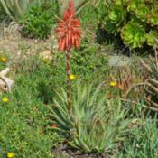Location: Baja CaliforniaDate: 2017-02-02Aloe x spinosissima