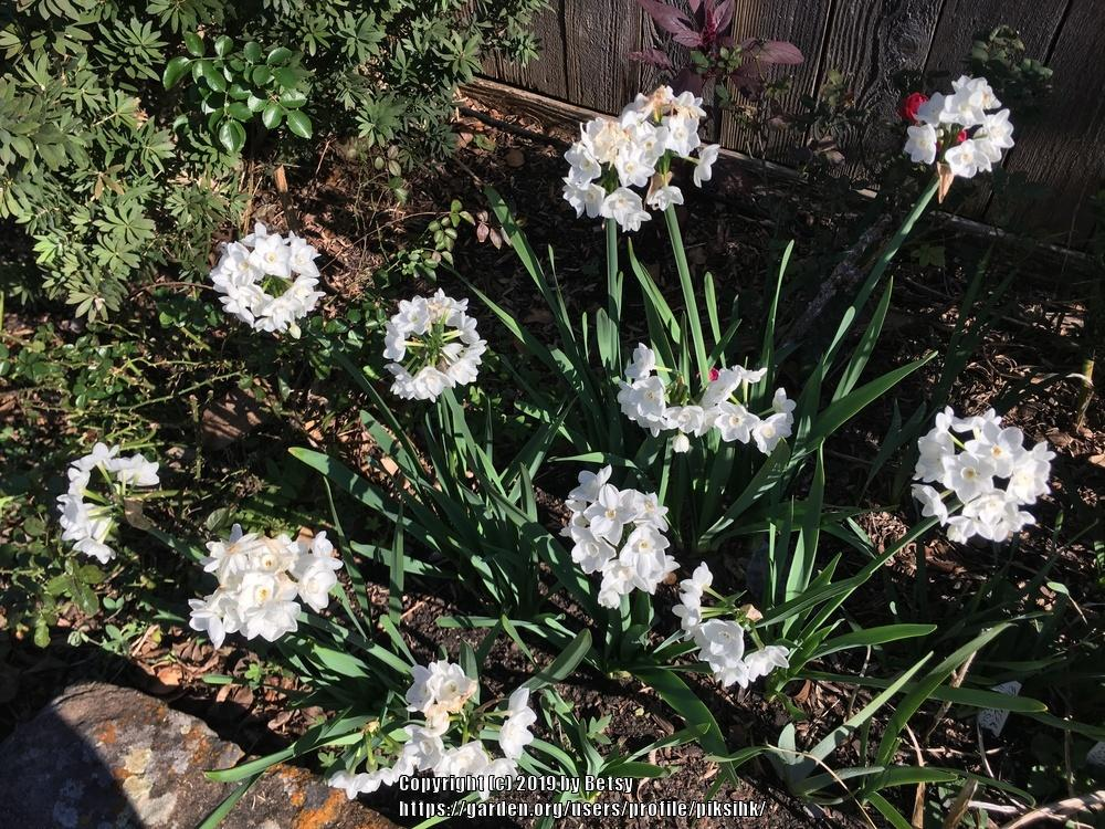 Photo of Paperwhites (Narcissus 'Ziva') uploaded by piksihk