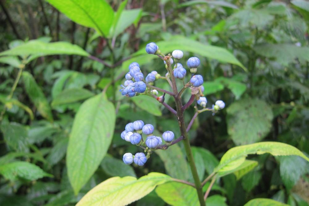 Photo of Blue Evergreen Hydrangea (Hydrangea febrifuga) uploaded by tofitropic