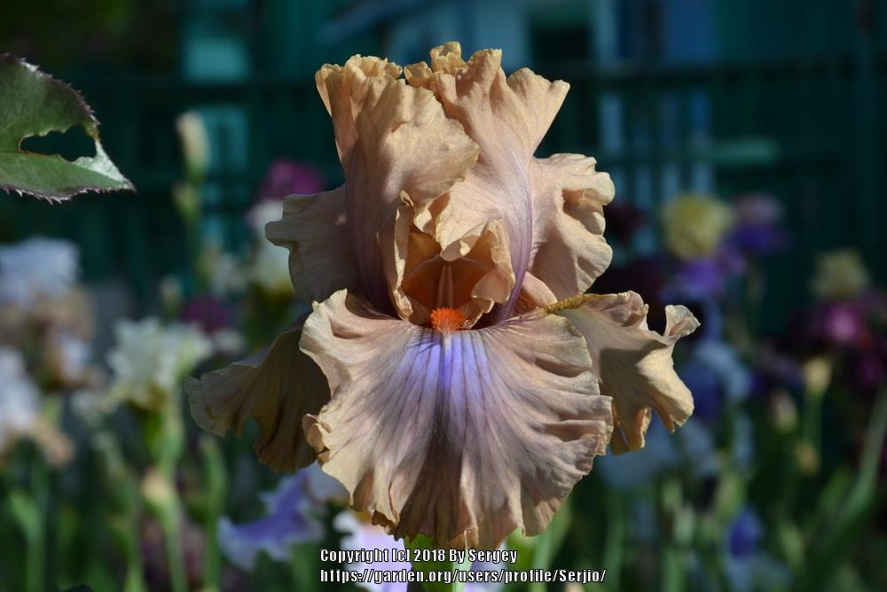 Photo of Tall Bearded Iris (Iris 'Coffee Trader') uploaded by Serjio